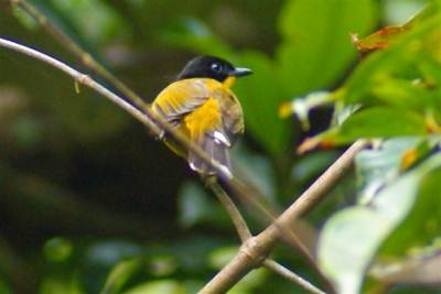 Black Headed Bulbul