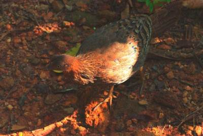 Female Jungle Fowl
