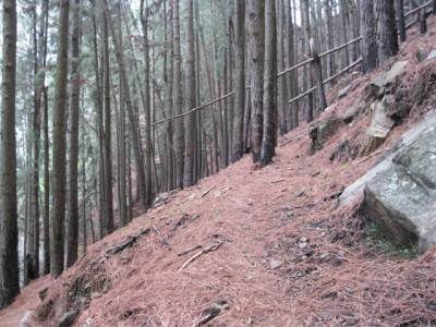 The trail leading through the pine forest
