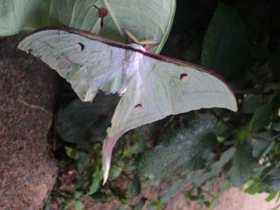 We noticed a giant moth near Kelani ganga which was attacked by a predator