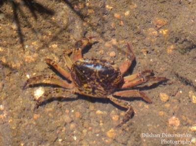 A fresh water crab caught at the red bridge