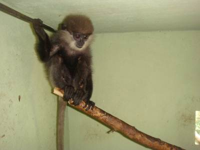 Purple -faced Leaf Monkey (injured)