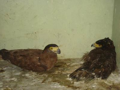 Crested Serpent Eagles with damaged wings