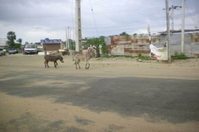 donkeys loafing all over the town