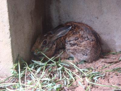 More Black Naped Hare