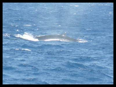 The only photograph we could capture – The Blue Whale