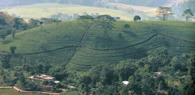 Tea estate zoomed