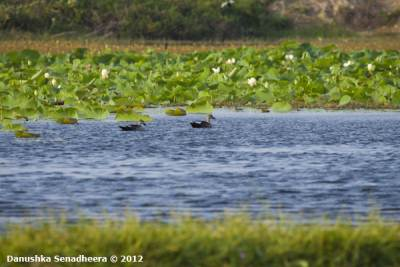 Spotted-billed Ducks floating far way..