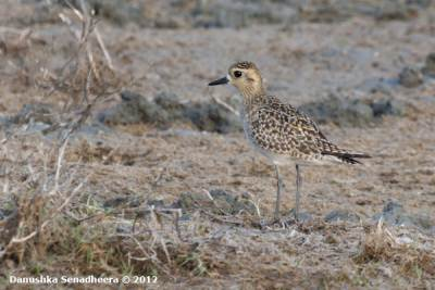 A Pacific Golden Plover
