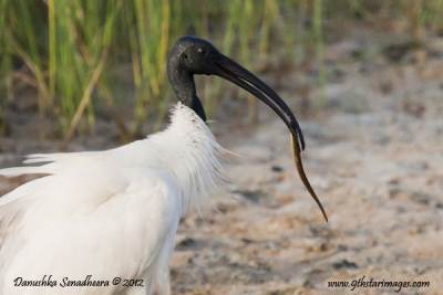Black-headed Ibis with a fish in its beak