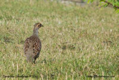 Finally a Gray Francolin