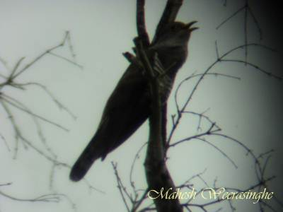 Indian Cuckoo perched on higher branch of dead tree and sings his song loudly