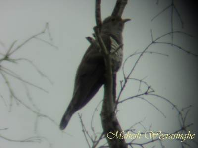 Indian Cuckoo perched on higher branch