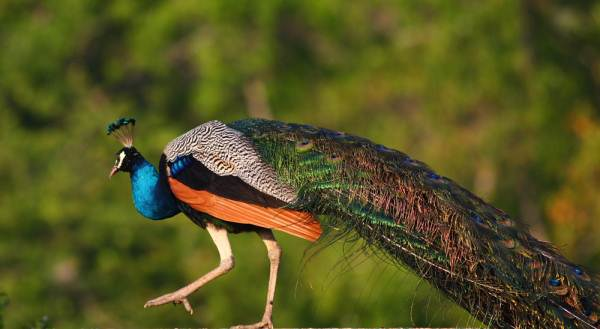A peacock seen at close range