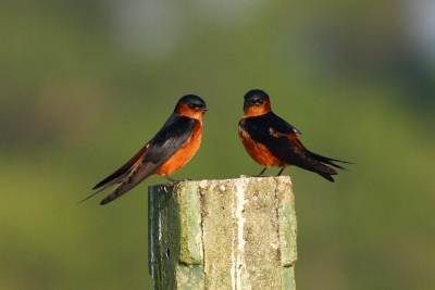 A pair of red rumped swollows