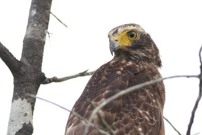 Serpent Eagle see at a close range