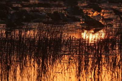First rays of the day painted the water in Orange with reeds creating a beautiful pattern
