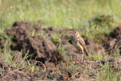 Musician of the Paradise, a Bush Lark