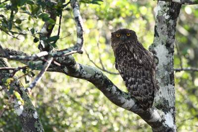 The Fish Owl