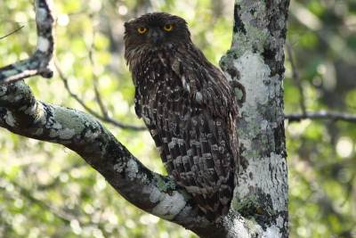 A loser look -  Brown Fish Owl