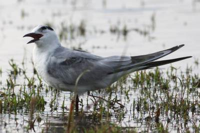 A Tern (Whiskered Tern?)