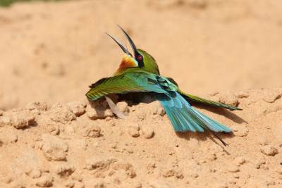 The bee eater which was busy sand bathing
