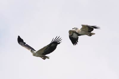 Synchronous Flying - White Bellied Sea eagles