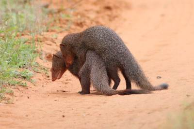 Pair of Mating Mongoose