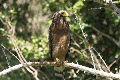 The camera friendly serpent eagle