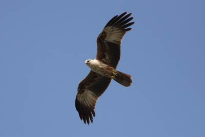 There were few Brahminy Kites as well - Managed to get a reasonable shot of this juvenile
