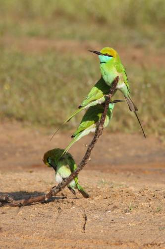 Bee eaters at Wilpattu