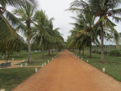 Coconut – Rarity in Jaffna