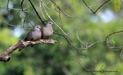 A pair of spotted doves