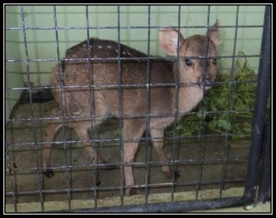 A baby hog deer (Gona muwa) who had a wound near the tail.