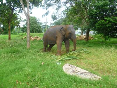 Baby elephant at Tissa temple