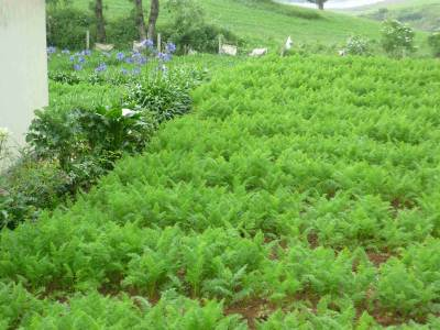 Carrot cultivation near new zealand farm