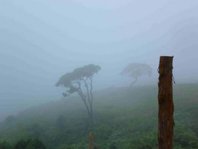 Famous trees in ambewela- (When returning to n'eliya)