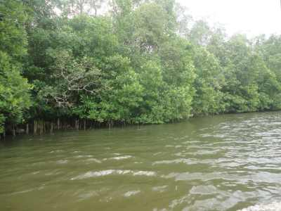 Gorgeous mangroves protecting the river bank