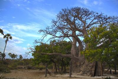 The Baobab Tree of Delft