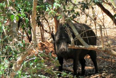 the wild boar at Katagamuwa