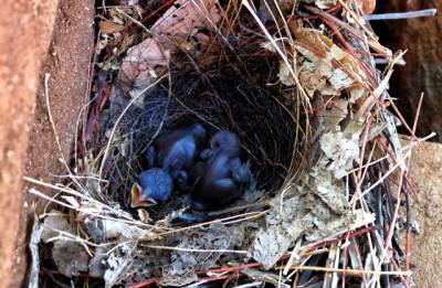 the nest with hatchlings