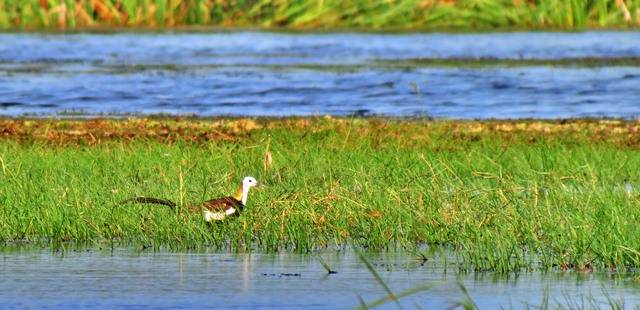 a Pheasant-tailed Jacana