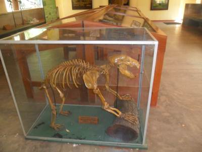 Skeleton of Sloth Bear at wilpattu Museum