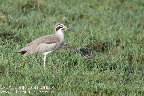 A Great Thick-knee