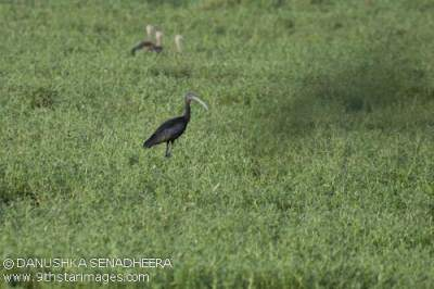 One of the many Glossy Ibis