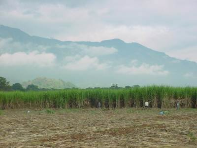 Harvesting of matured cane.Poonagala at the background
