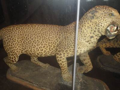Preserved Leopard