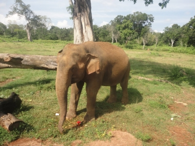 Hungry Baby elephant on Yala-Buttala road