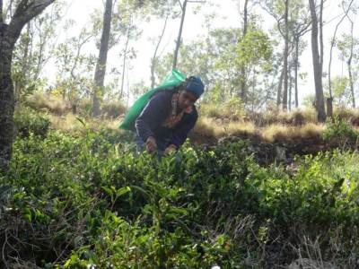 The drought has caused some serious problems for tea industry