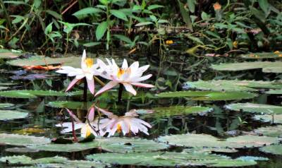 77 mirror image of lillies